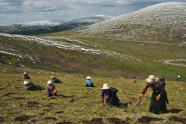 Thu hoạch Đông trùng hạ thảo trên ngọn núi cao vút