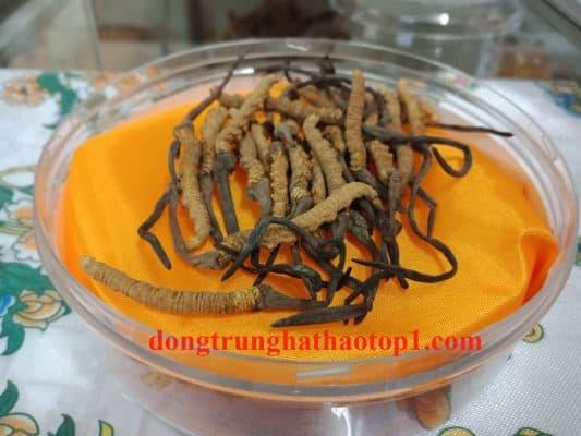 Đông trùng hạ thảo Tây Tạngnguyên con loại tốt