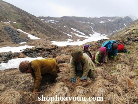 Thu hoạch Đông Trùng Hạ Thảo trên cao nguyên Tây Tạng
