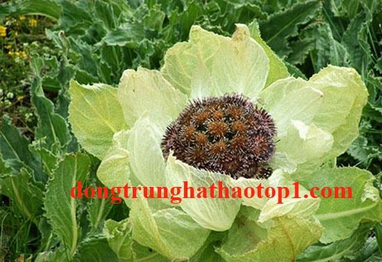 Thiên Sơn Tuyết Liên Tây Tạng là một loại thảo dược vô cùng quý hiếm