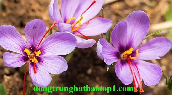 Saffron là gia vị đắt nhất trên thế giới