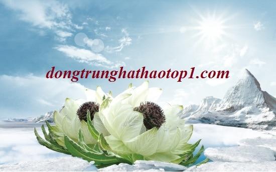 Tuyết liên hoa Bhutan cánh trắng vàng, nhụy đỏ tím mọc trên tuyết trắng ở độ cao 4500m trở lên