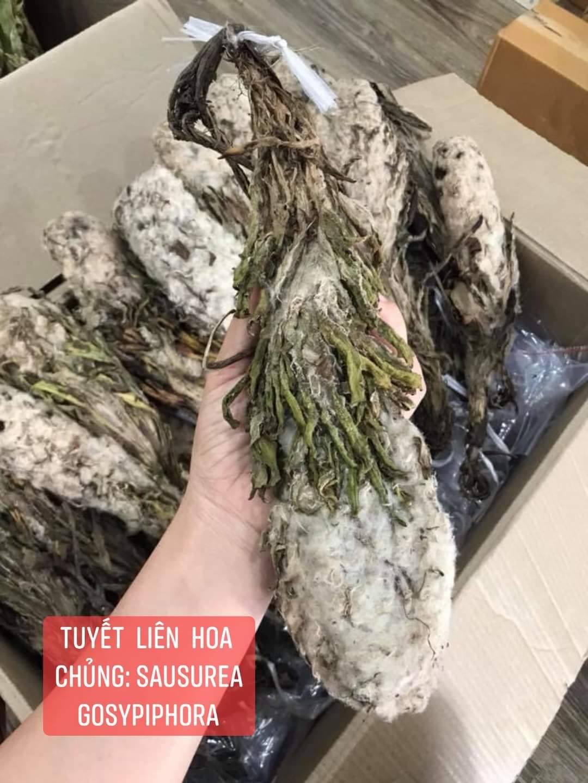 Chủng Tuyết Liên Hoa cánh nhỏ Tốt Cho Gan Và Máu (Saussurea Gossypiphora)